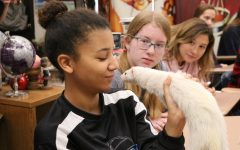 Lauren Carr (12) looking deep in the eyes of a ferret as her class mates look on.
